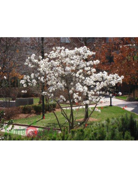 Magnolia gwiaździsta ROYAL STAR 70cm doniczka