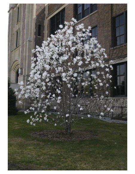 Magnolia ALBA SUPERBA 50cm doniczka