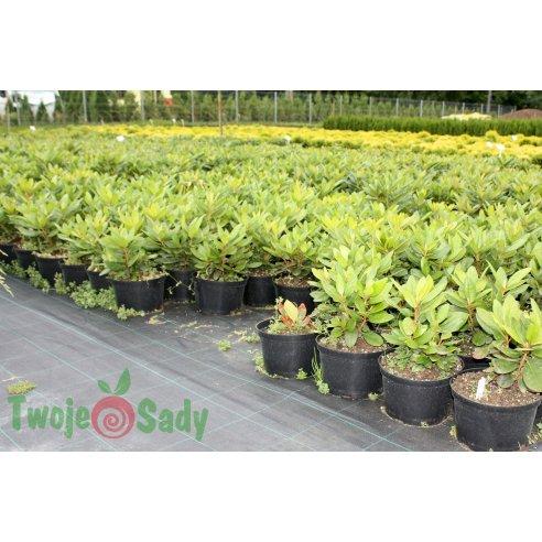 Rhododendron FRANCESCA 30cm doniczka