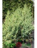Jałowiec chiński OBELISK 70cm doniczka