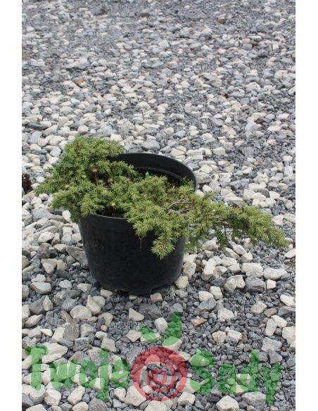 Jałowiec GREEN CARPET 40cm doniczka