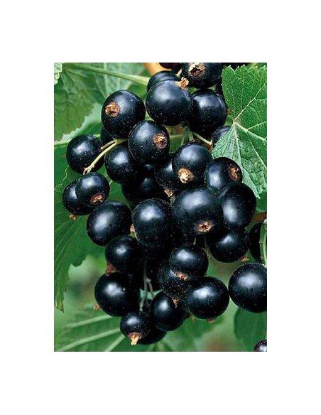 Porzeczka czarna TITANIA krzew w doniczce