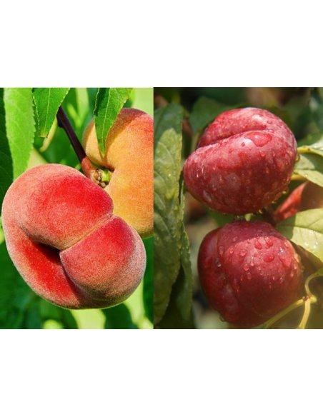 Brzoskwinia SATURN i FLATERYNA drzewko 2w1