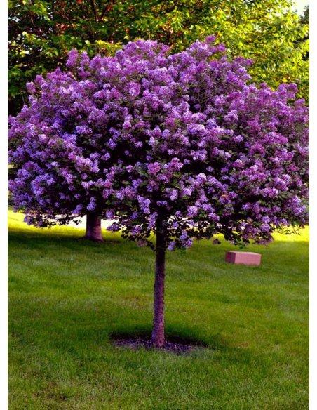 Lilak szczepiony fioletowo purpurowy LUDWIG SPAETH