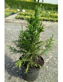 Tuja thuja CAN CAN 70cm doniczka