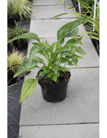 Echinacea jeżówka PRAIRIE SPLENDOR COMPACT WHITE