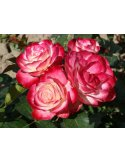 Róża rabatowa DWUKOLOROWA biało czerwona NA PNIU