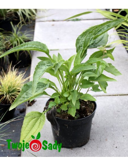 Echinacea jeżówka HOT PAPAYA