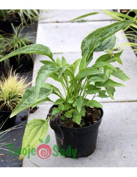 Echinacea jeżówka CLEOPATRA