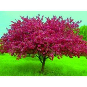 Jabłoń rajska ROYALTY