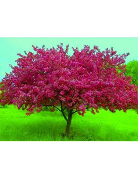 Jabłoń rajska ozdobna ROYALTY - 3