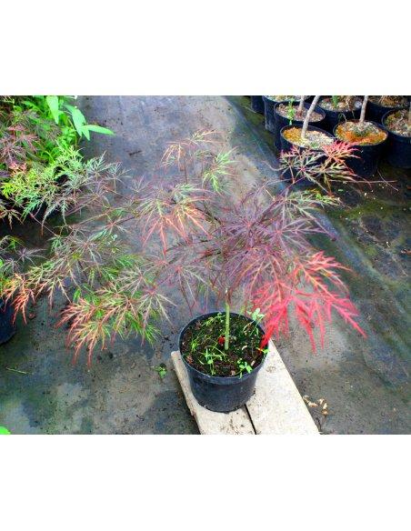 Klon palmowy GARNET