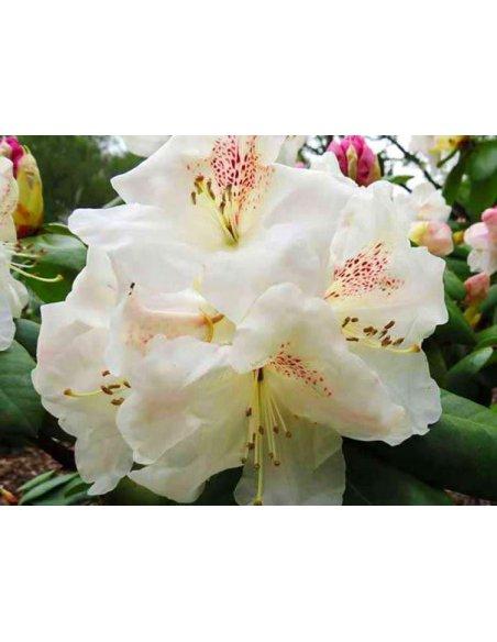 Rhododendron GARTENDIREKTOR RIEGER