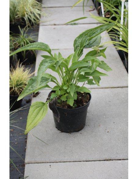 Echinacea Jeżówka GREEN JEWEL