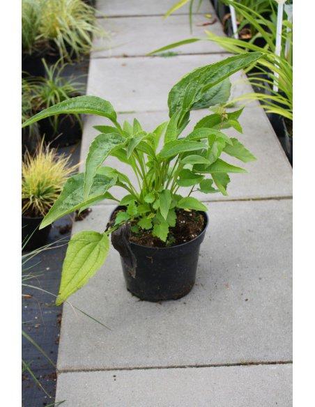 Echinacea jeżówka SUPREME CANTALOUP