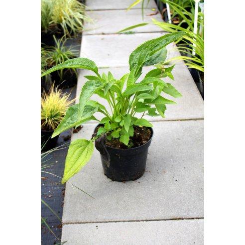 Echinacea jeżówka COCONUT LIME