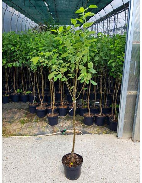 Jabłoń 5w1 jedno drzewko PIĘĆ ODMIAN - 2