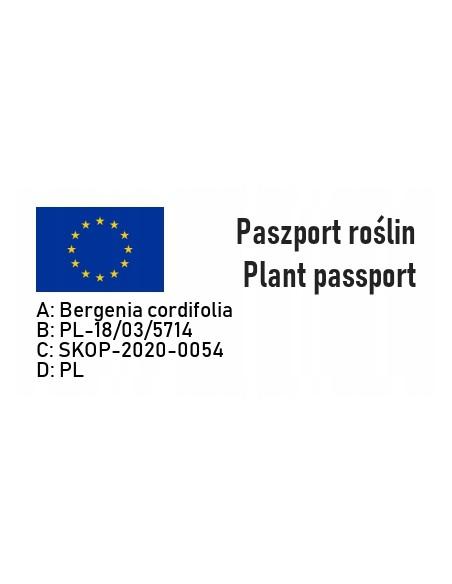 Bergenia sercowata WINTERGLUT - 6