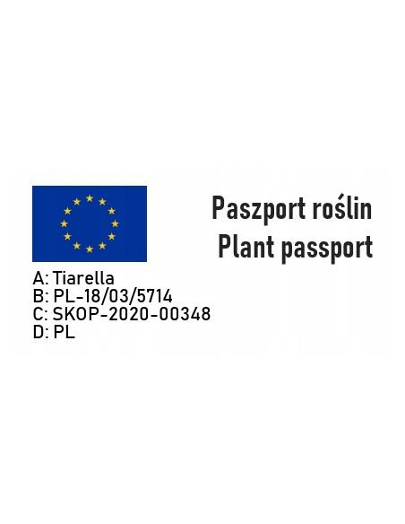 Tiarella TIMBUKTU zieleń bordo doniczka P13 - 6