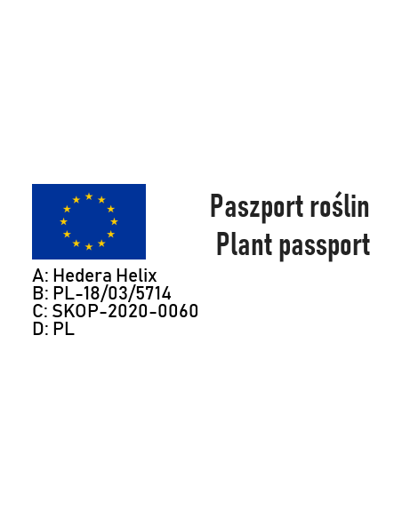 Bluszcz pospolity WONDER - 4