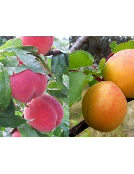 Drzewka owocowe DUO