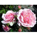 Róże rabatowe i parkowe