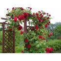 Róże pnące i kaskadowe