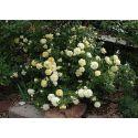 Róże miniaturowe i okrywowe